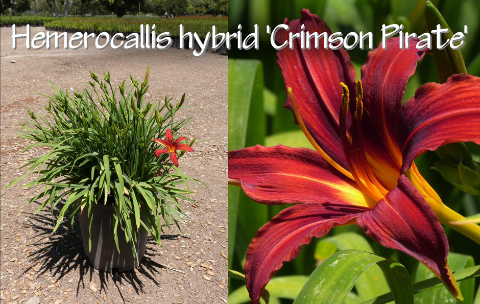 Hemerocallis-hybrid-'Crimson-Pirate'_13