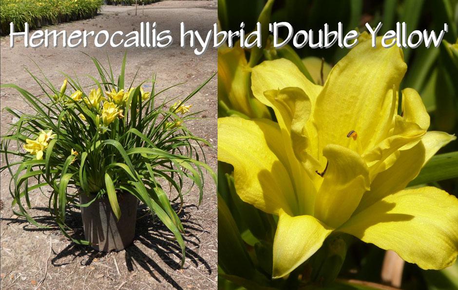 Hemerocallis-hybrid-'Double-Yellow'_13