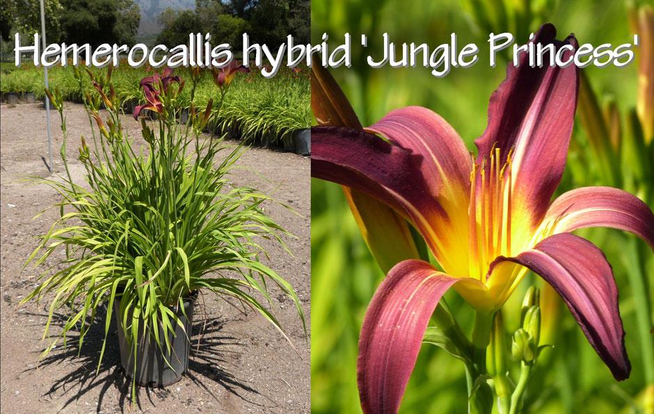 Hemerocallis-hybrid-'Jungle-Princess'_13