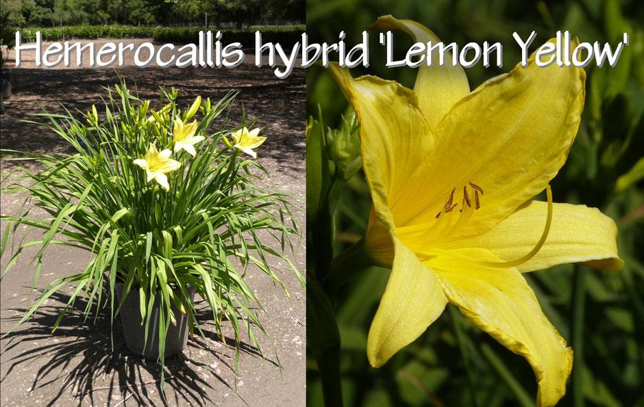 Hemerocallis-hybrid-'Lemon-Yellow'_13