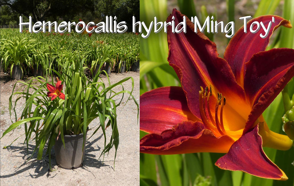 Hemerocallis-hybrid-'Ming-Toy'_13