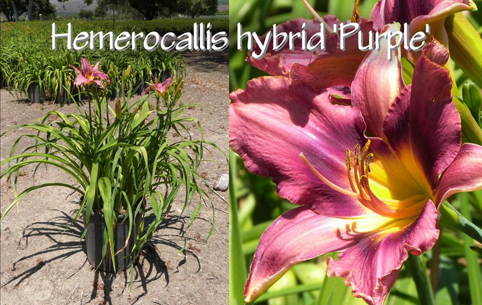 Hemerocallis-hybrid-'Purple'_13