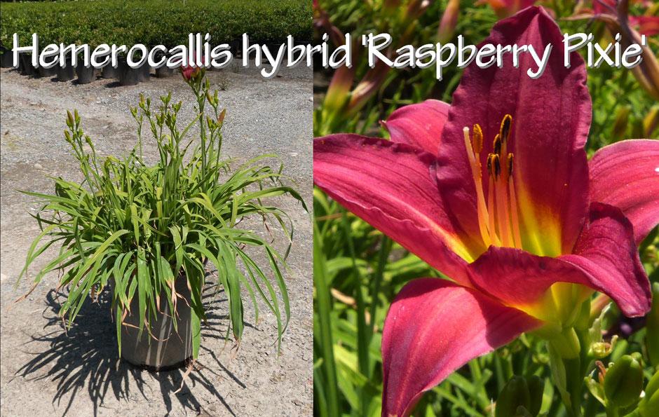 Hemerocallis-hybrid-'Raspberry-Pixie'_13