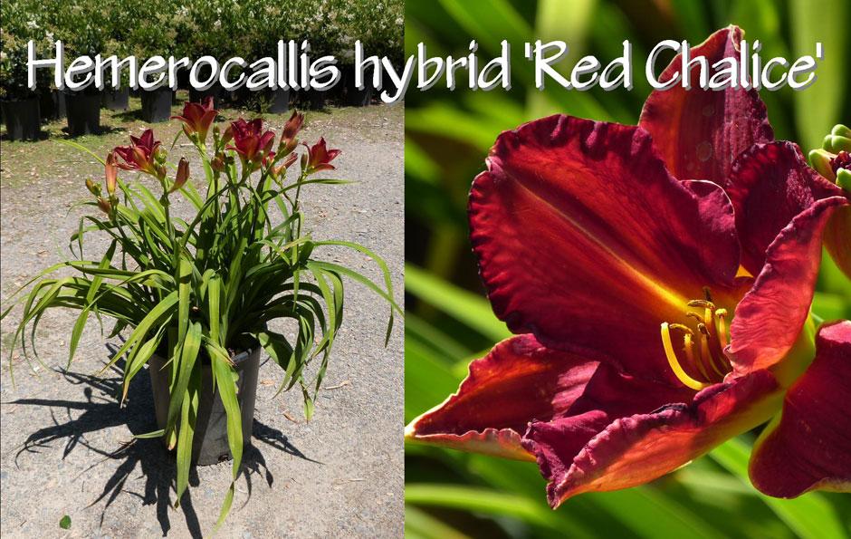 Hemerocallis-hybrid-'Red-Chalice'_13