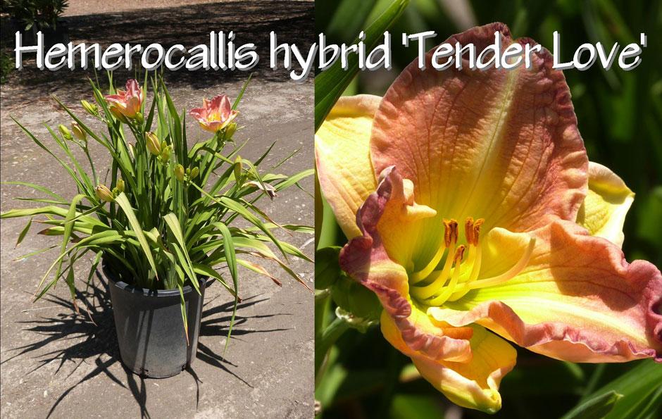 Hemerocallis-hybrid-'Tender-Love'_13