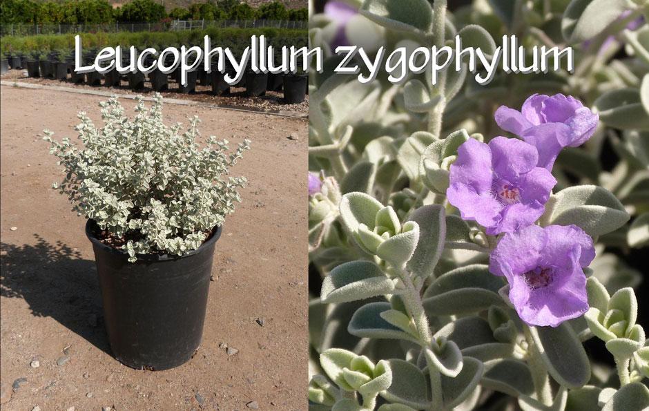 Leucophyllum-zygophyllum_13