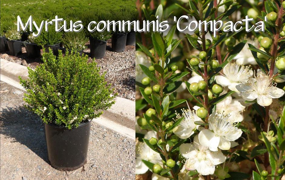 Myrtus-communis-'Compacta'_13