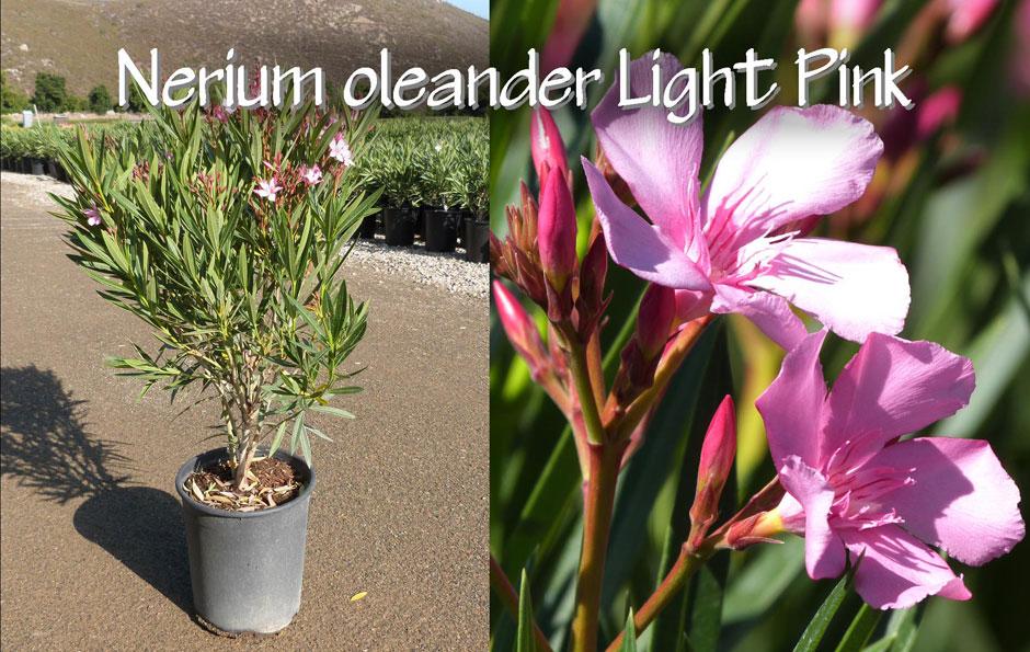 Nerium-oleander-Light-Pink_13