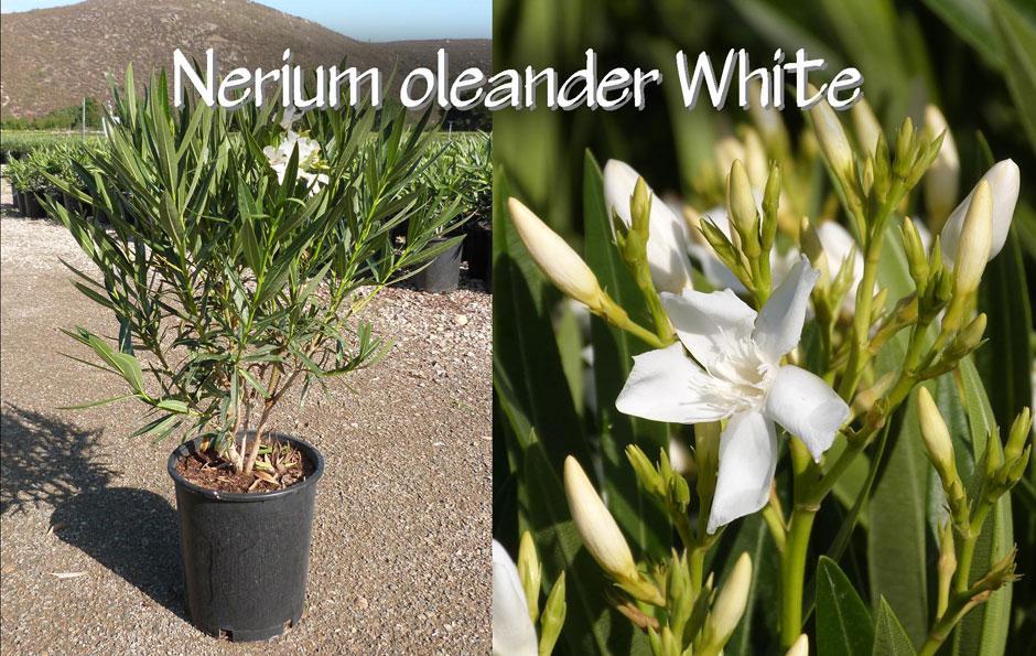 Nerium-oleander-White_13