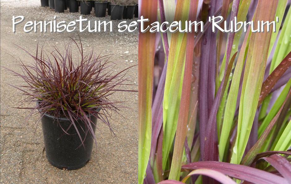 Pennisetum-setaceum-'Rubrum'_13