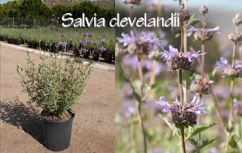 Salvia-clevelandii_13