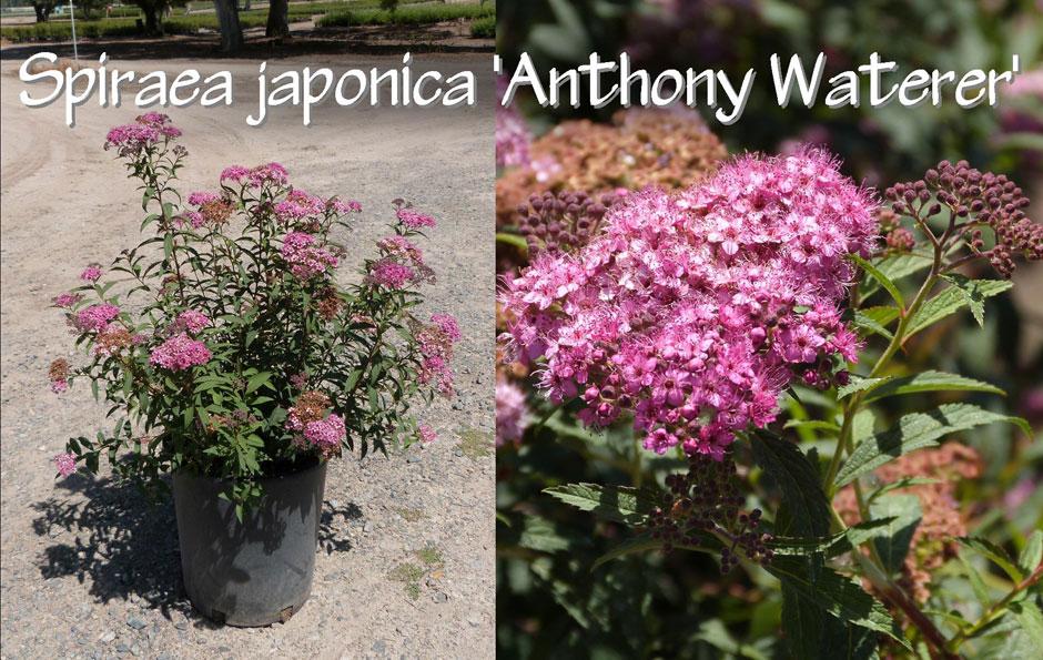 Spiraea-japonica-'Anthony-Waterer'_13