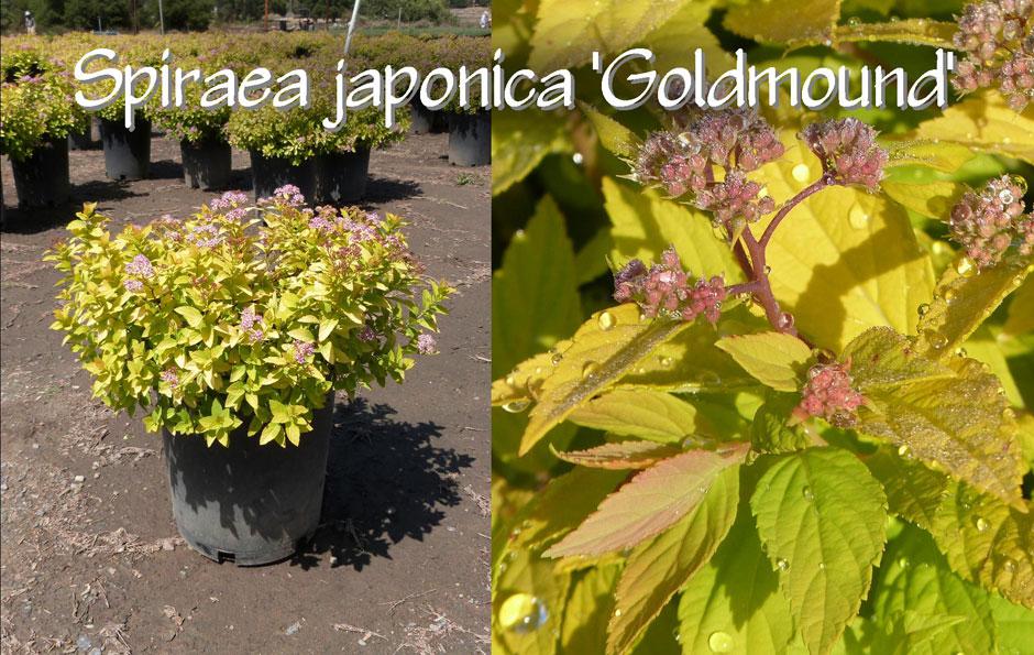 Spiraea-japonica-'Goldmound'_13