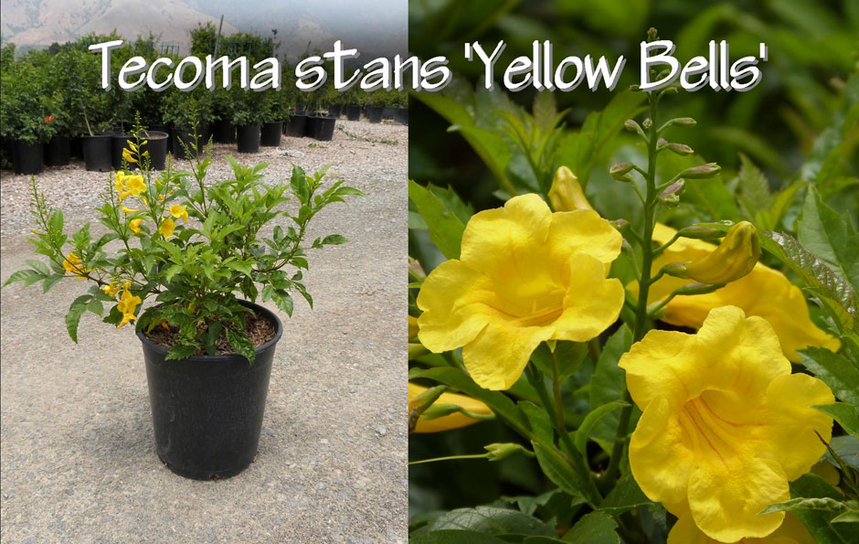 Tecoma-stans-'Yellow-Bells'_13