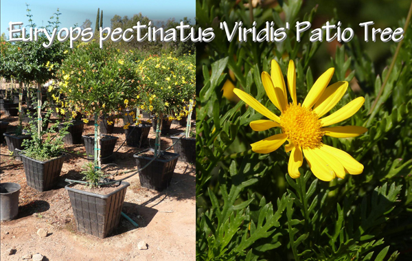Euryops pectinatus 'Viridis' Patio Tree_13