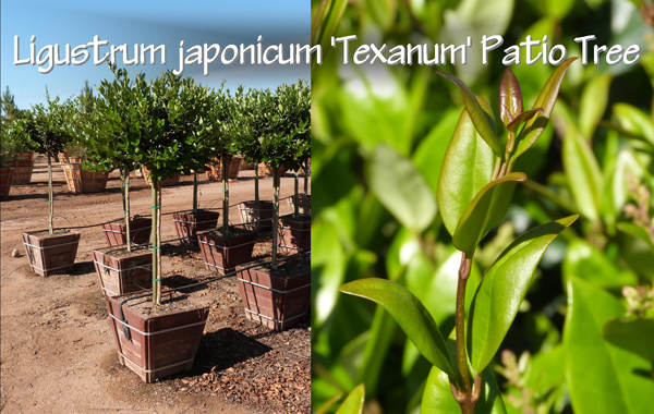 Ligustrum japonicum 'Texanum' Patio Tree_13