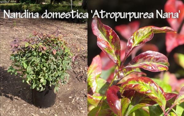Nandina-domestica-Atropurpurea-Nana