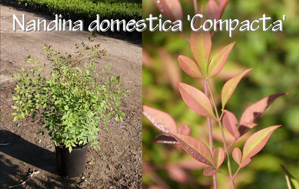 Nandina-domestica-'Compacta'_13