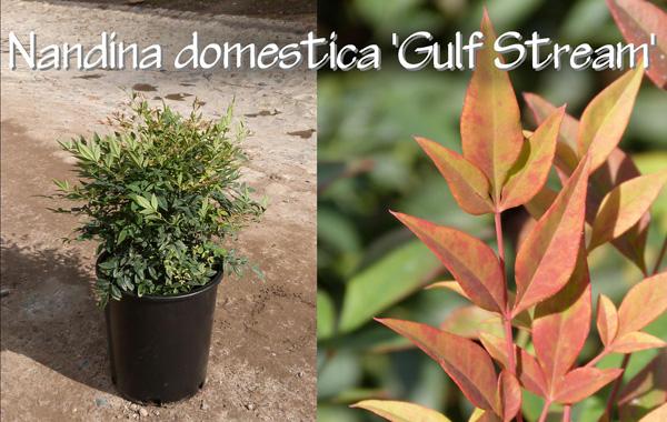 Nandina-domestica-'Gulf-Stream'_13