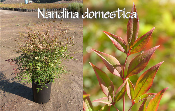 Nandina-domestica_13