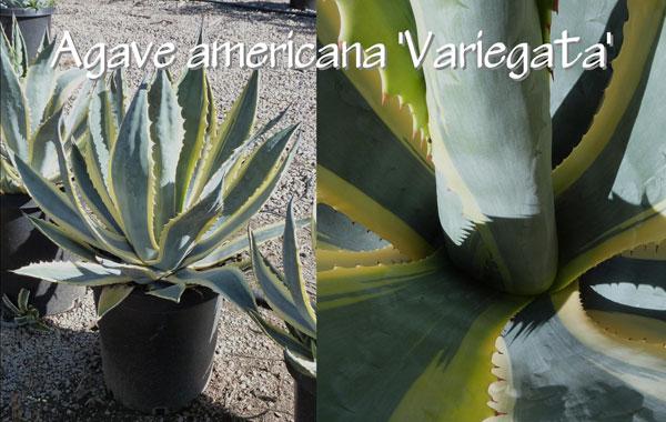 Agave-americana-'Variegata'