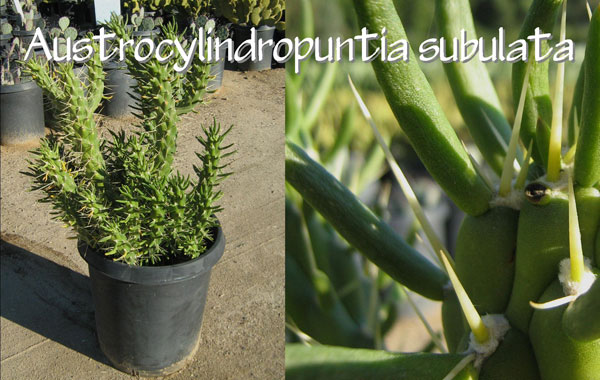 Austrocylindropuntia-subulata