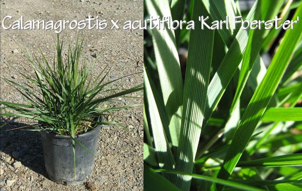 Calamagrostis-x-acutiflora-'Karl-Foerster'