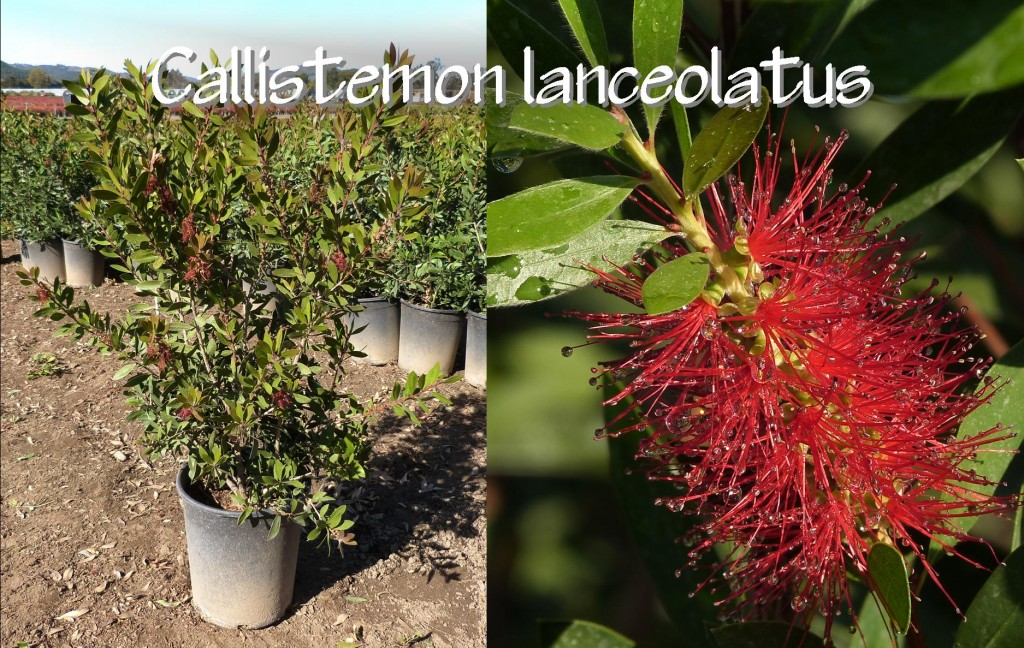 Callistemon lanceolatus