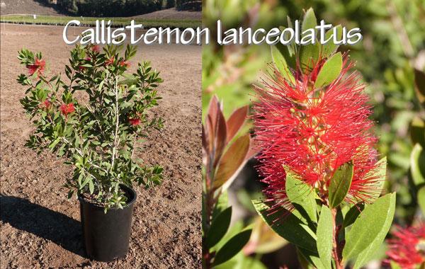 Callistemon-lanceolatus_13