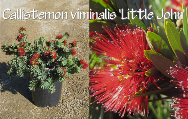 Callistemon-viminalis-'Little-John'