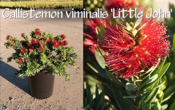 Callistemon-viminalis-'Little-John'_13