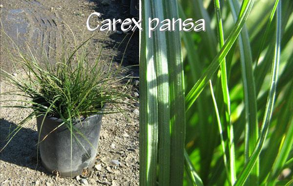 Carex-pansa
