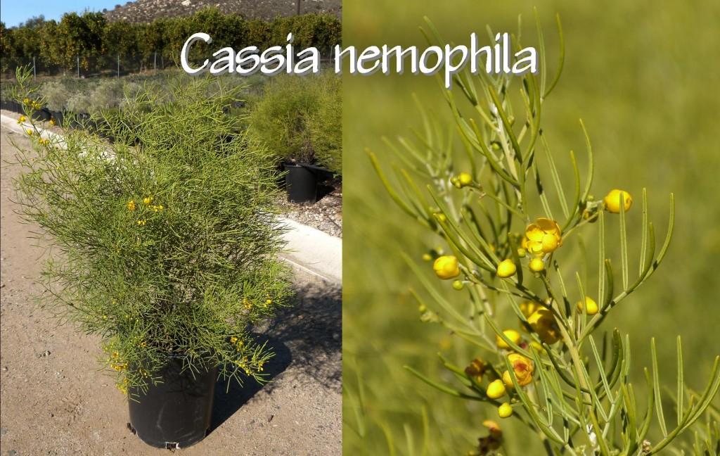 Cassia nemophila