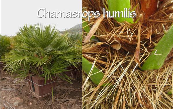 Chamaerops-humilis