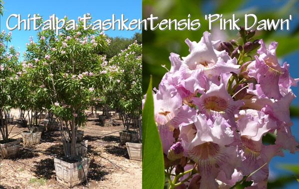 Chitalpa-tashkentensis-'Pink-Dawn'