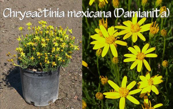 Chrysactinia-mexicana-(Damianita)
