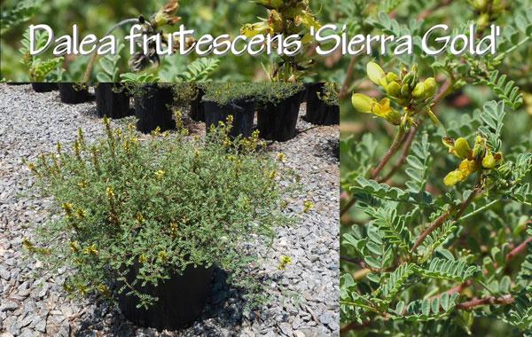 Dalea-frutescens-'Sierra-Gold'