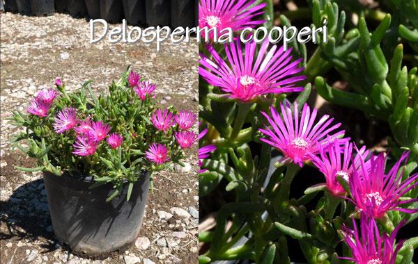 Delosperma-cooperi