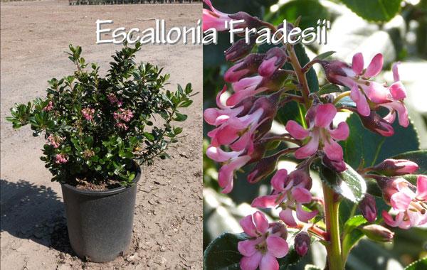Escallonia-'Fradesii'
