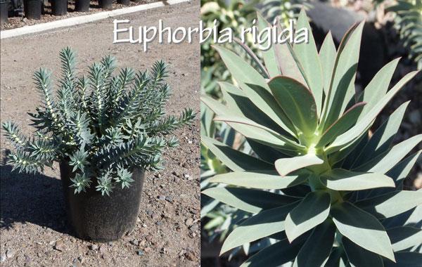 Euphorbia-rigida