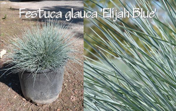 Festuca-glauca-'Elijah-Blue'