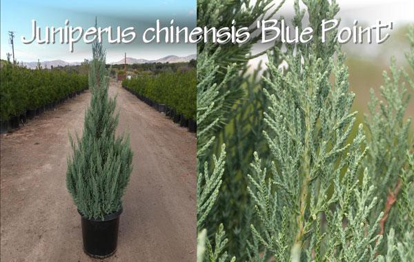 Juniperus-chinensis-'Blue-Point'_13