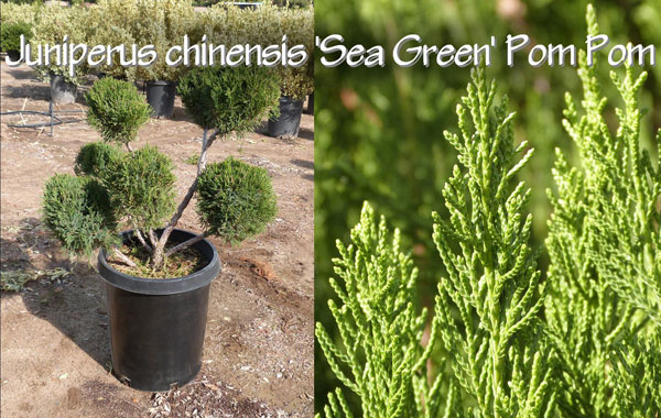 Juniperus-chinensis-'Sea-Green'-Pom-Pom_13