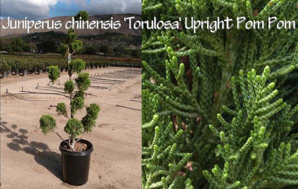 Juniperus-chinensis-'Torulosa'-Upright-Pom-Pom_13