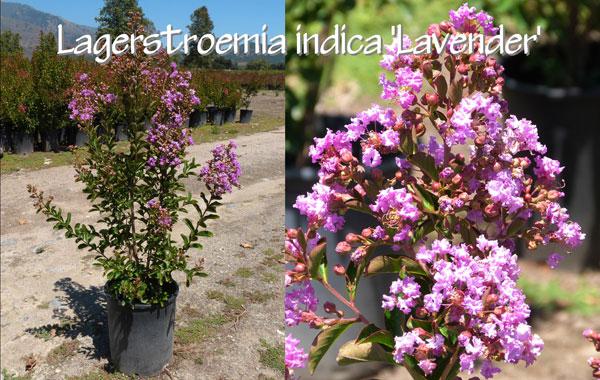 Lagerstroemia-indica-'Lavender'
