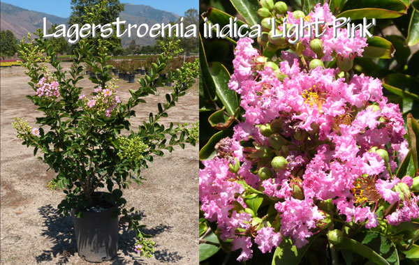 Lagerstroemia-indica-'Light-Pink'