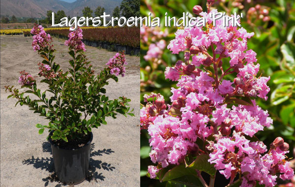 Lagerstroemia-indica-'Pink'