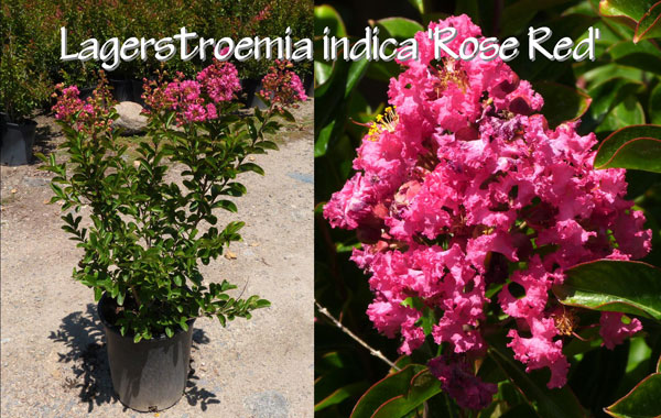 Lagerstroemia-indica-'Rose-Red'