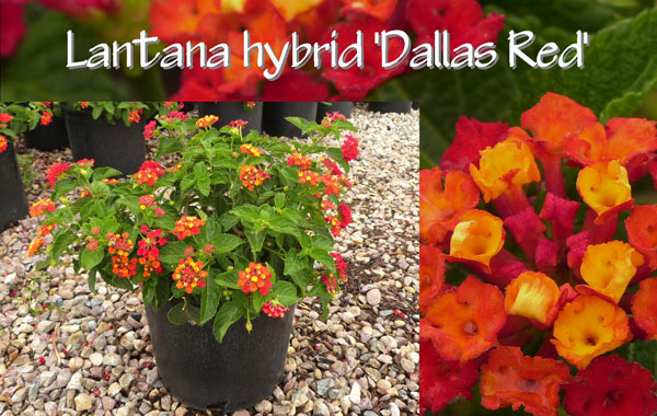Lantana-hybrid-'Dallas-Red'