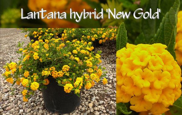 Lantana-hybrid-'New-Gold'